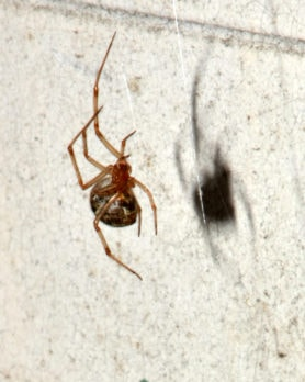 Picture of Parasteatoda tepidariorum (Common House Spider) - Ventral