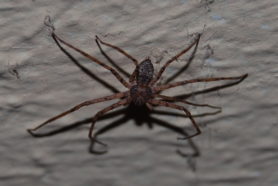 Picture of Philodromidae (Running Crab Spiders) - Dorsal