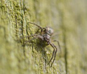 Picture of Philodromidae (Running Crab Spiders)