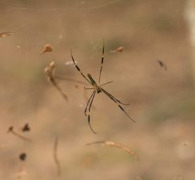 Picture of Nephila pilipes (Giant Golden Orb-weaver) - Ventral,Webs