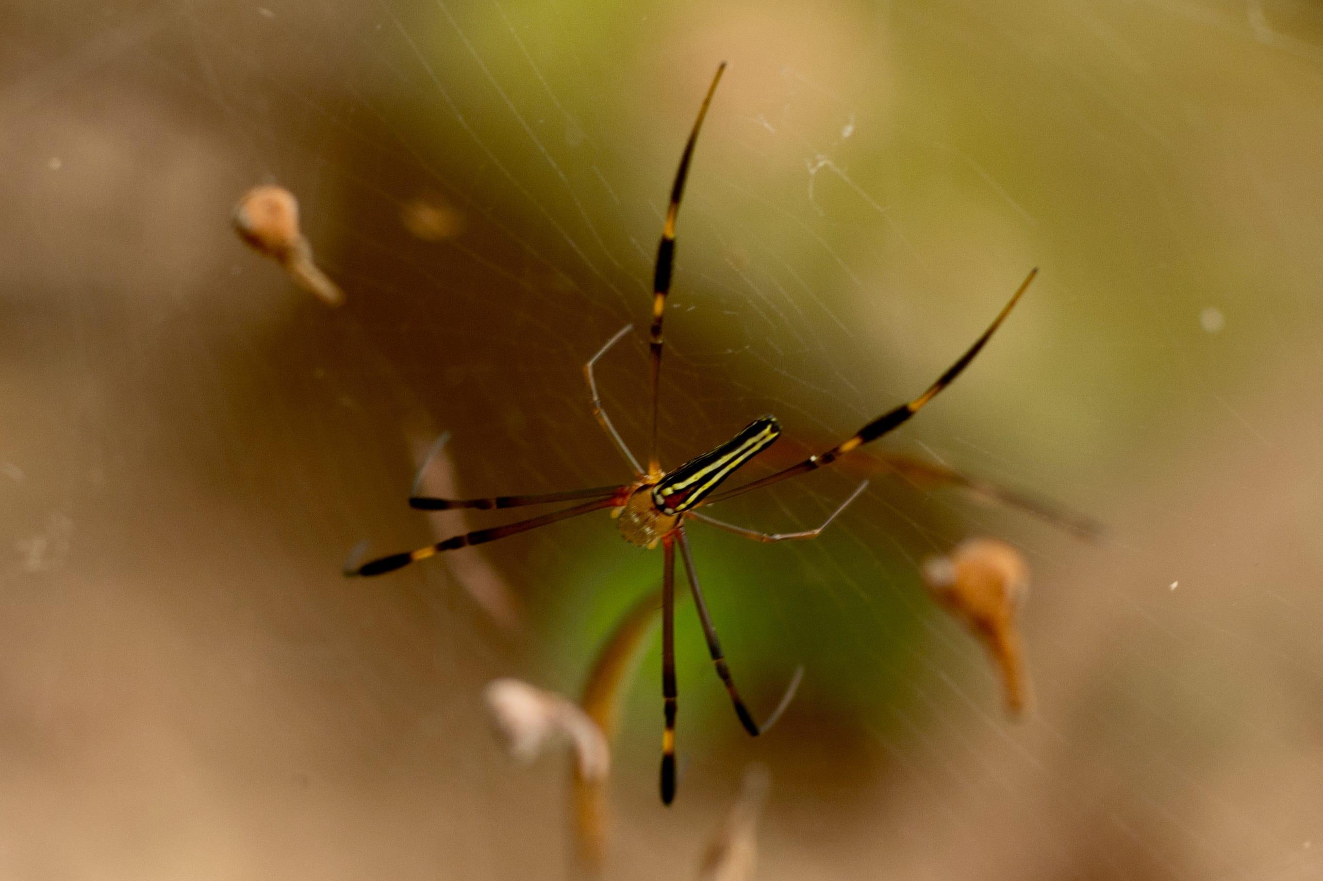Picture of Nephila pilipes (Giant Golden Orb-weaver) - Dorsal,Webs