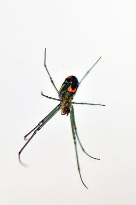 Picture of Leucauge argyrobapta (Mabel Orchard Orb-weaver) - Ventral