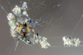 Picture of Metepeira spp. - Eyes,Webs,Prey