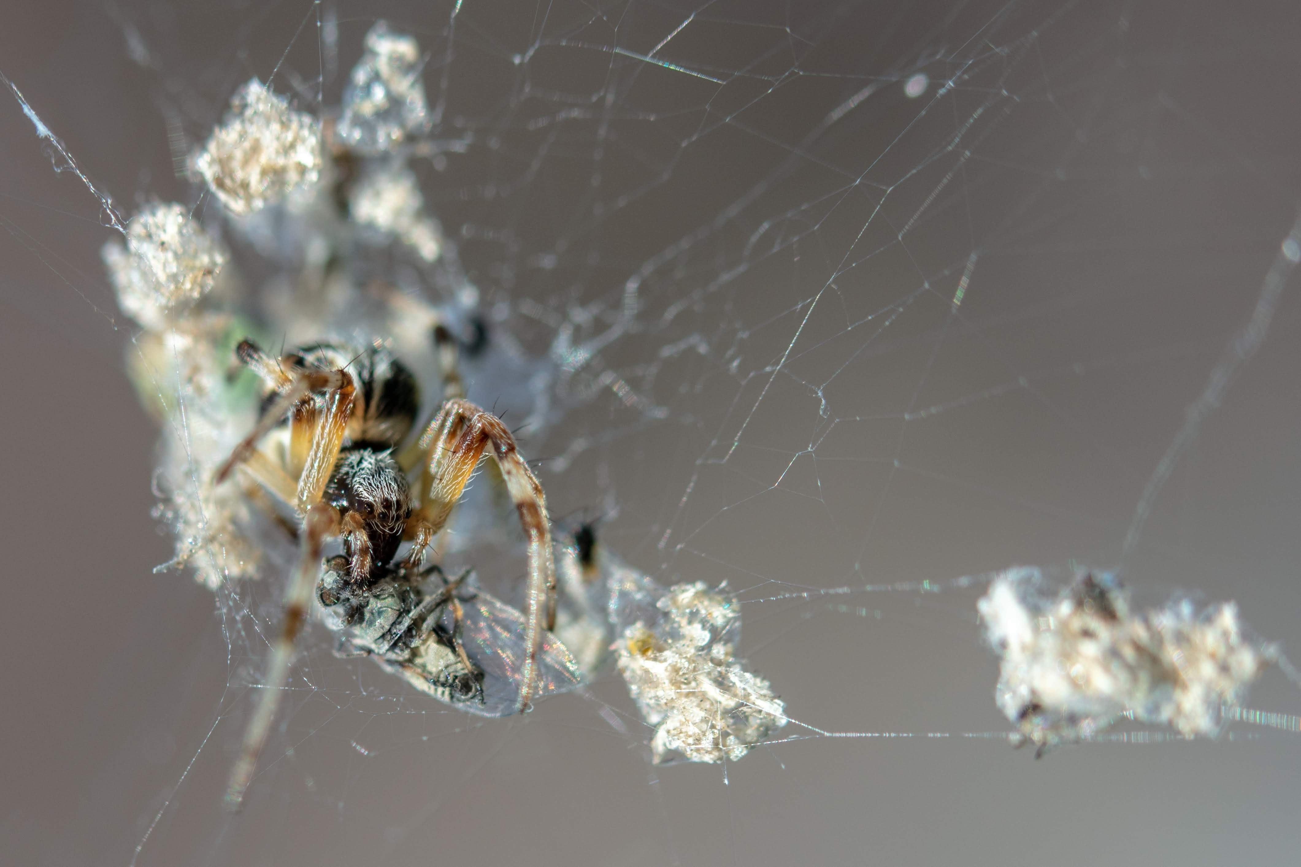 Picture of Metepeira - Eyes,Webs,Prey