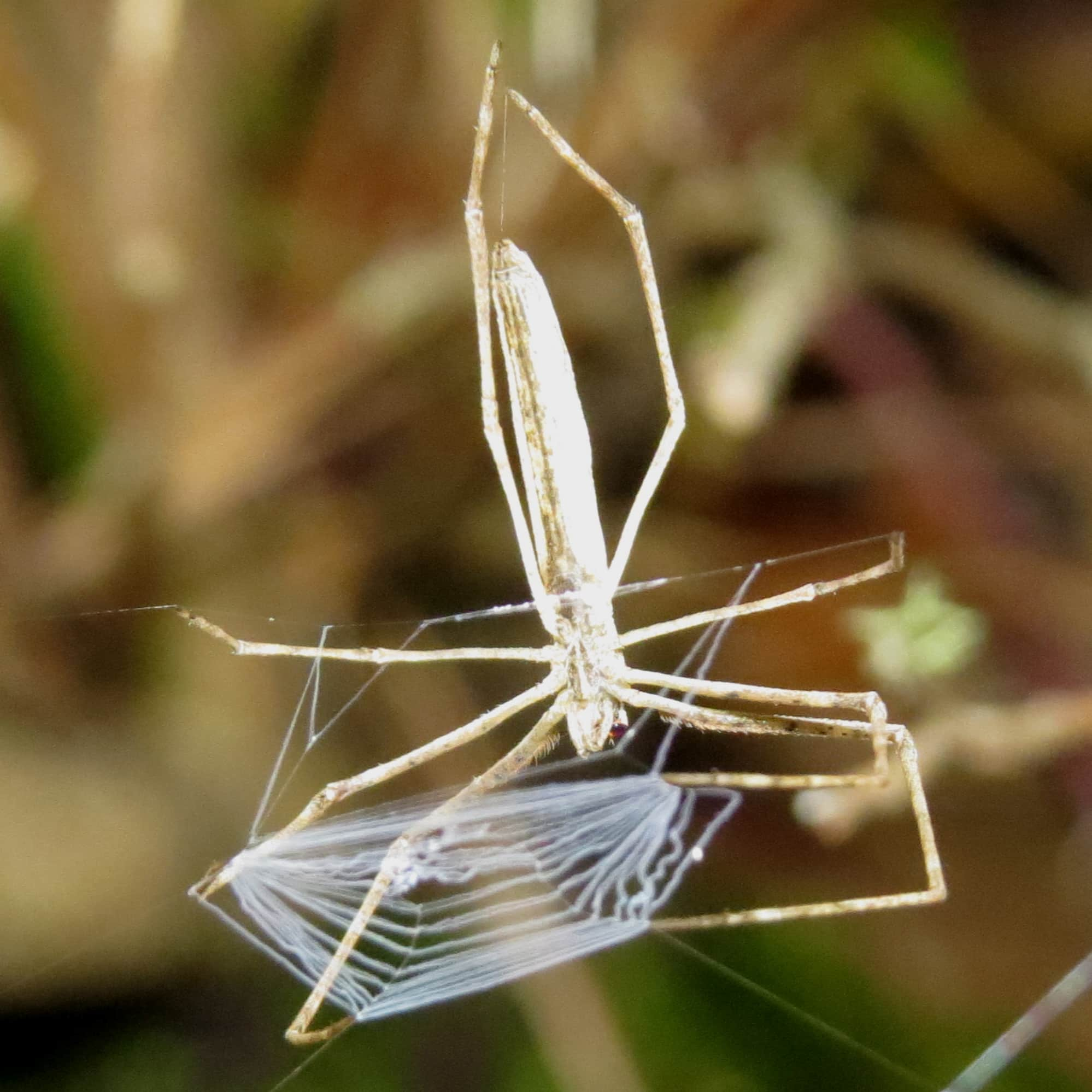 Picture of Deinopis spinosa - Ventral,Webs