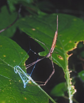 Picture of Deinopis spp. - Female - Ventral,Webs