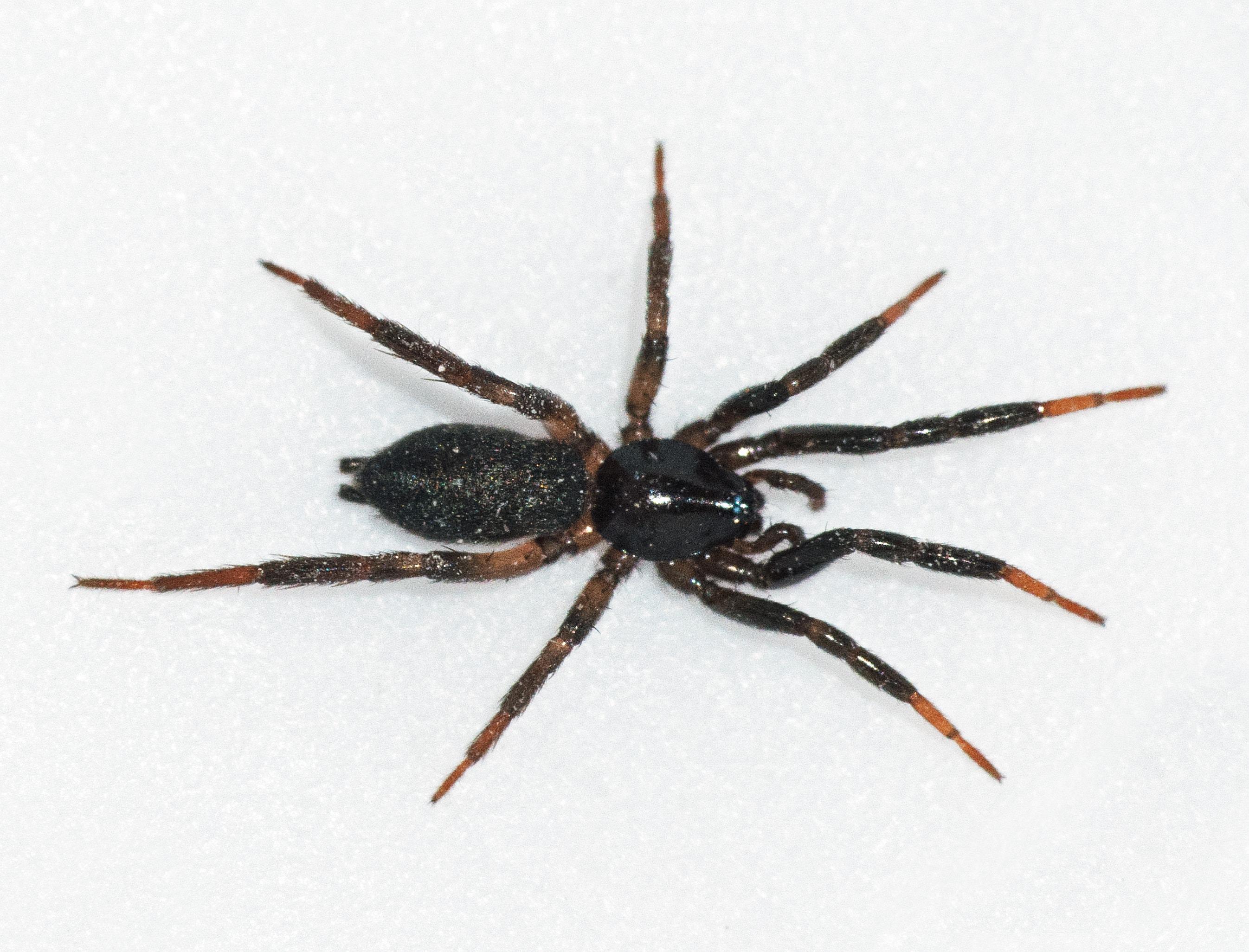 Picture of Drassyllus depressus - Female - Dorsal