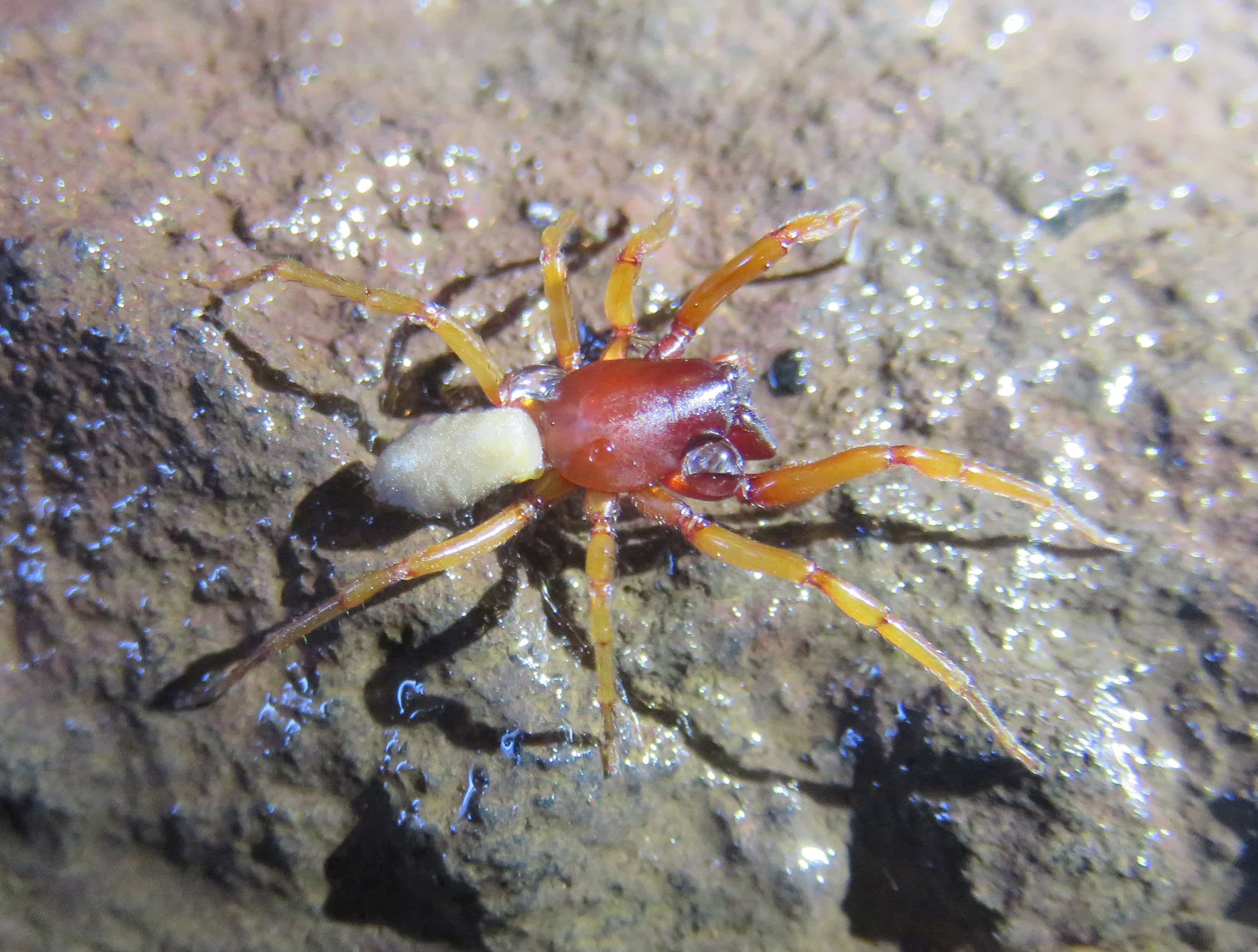 Picture of Dysdera chioensis - Female - Lateral