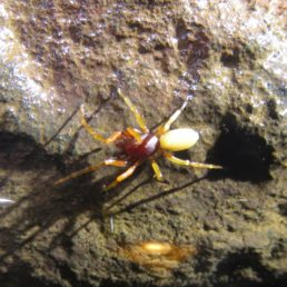 Featured spider picture of Dysdera esquiveli