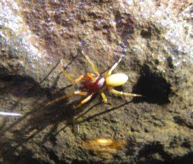Picture of Dysdera esquiveli - Female - Dorsal