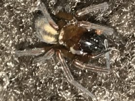 Picture of Callobius spp. - Dorsal