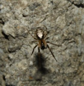 Picture of Zygiella x-notata (Missing Sector Orb-weaver)