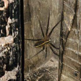 Featured spider picture of Heteropoda cyperusiria