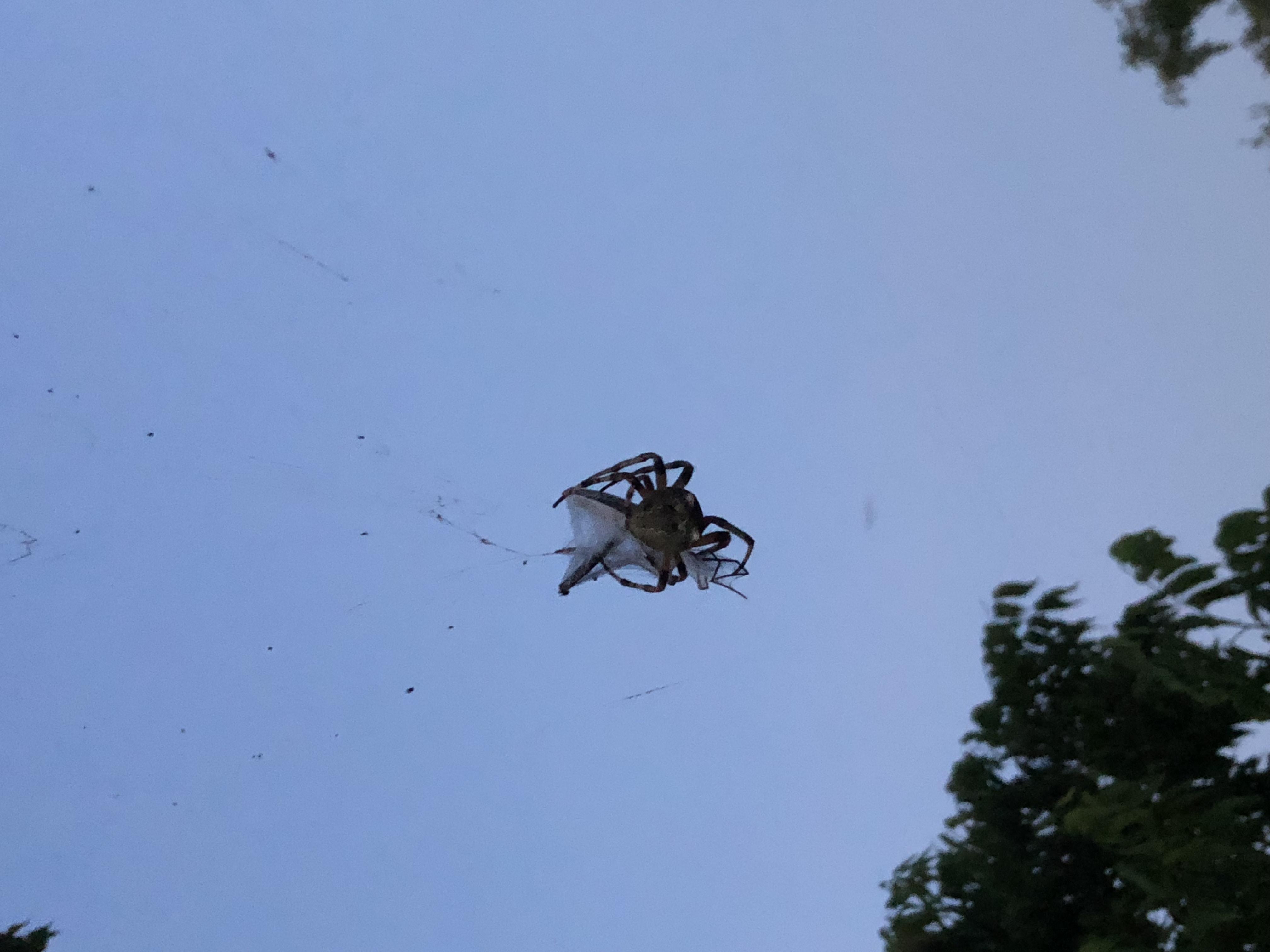 Picture of Araneus bicentenarius (Giant Lichen Orb-weaver) - Dorsal,Webs,Prey