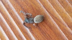 Picture of Desidae (Intertidal Spiders) - Dorsal