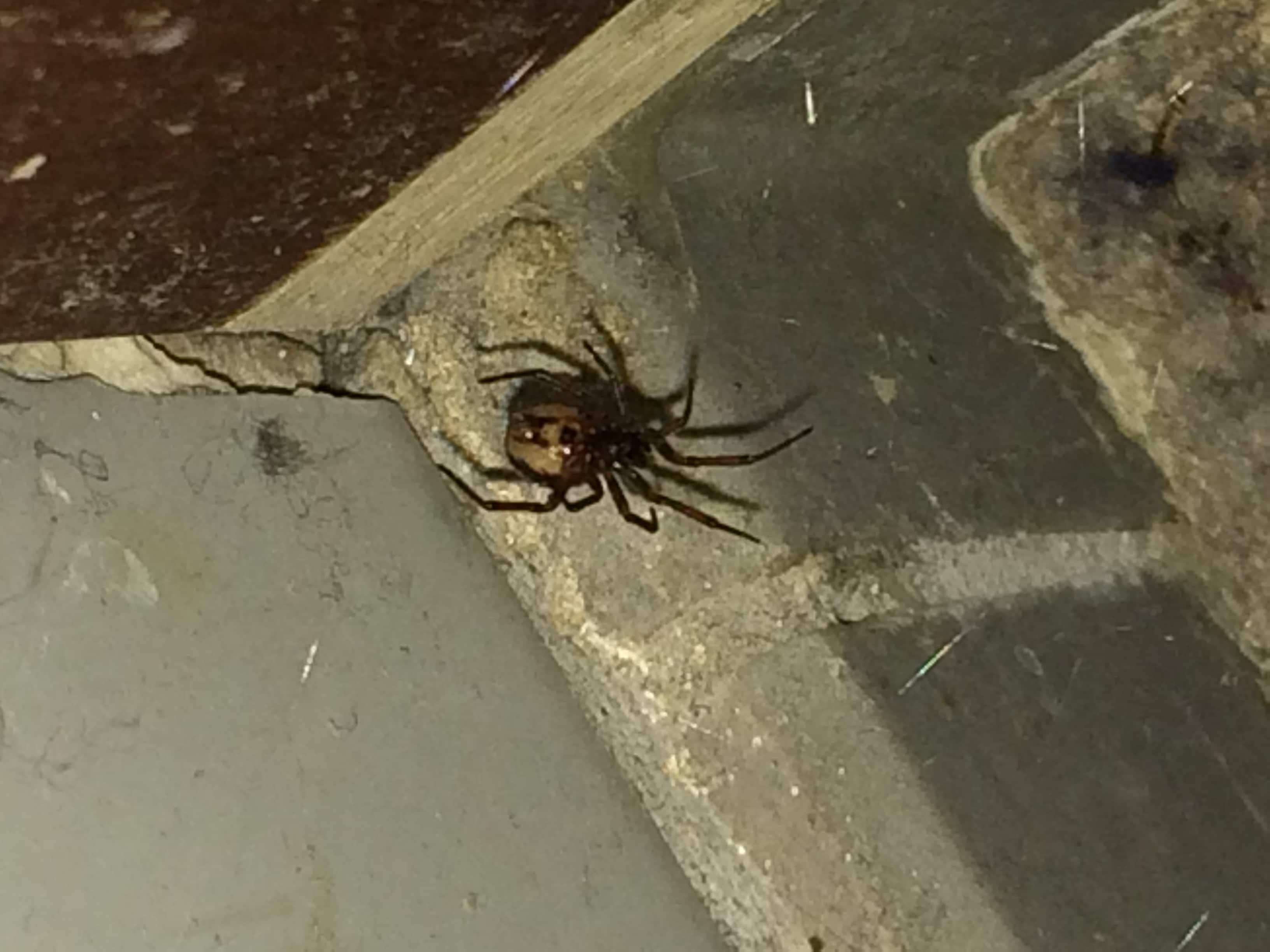 Picture of Steatoda (False Widows) - Ventral