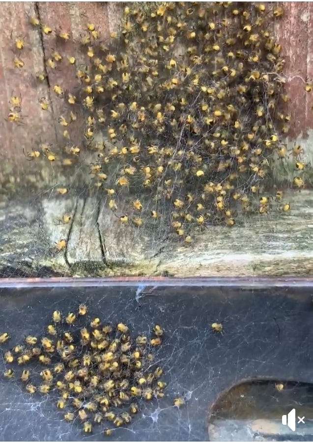 Picture of Araneidae (Orb-weavers) - Spiderlings