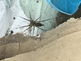 Picture of Agelenopsis spp. (Grass Spiders) - Dorsal