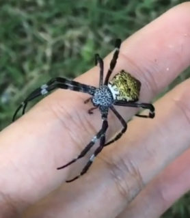 Picture of Argiope appensa (Hawaiian Garden Spider) - Dorsal