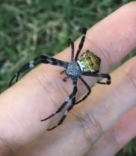Picture of Argiope appensa (Hawaiian Garden Spider) - Dorsal