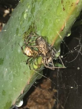 Picture of Latrodectus geometricus (Brown Widow Spider) - Lateral,Prey