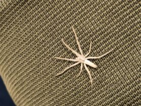 Picture of Tibellus spp. (Slender Crab Spiders) - Dorsal