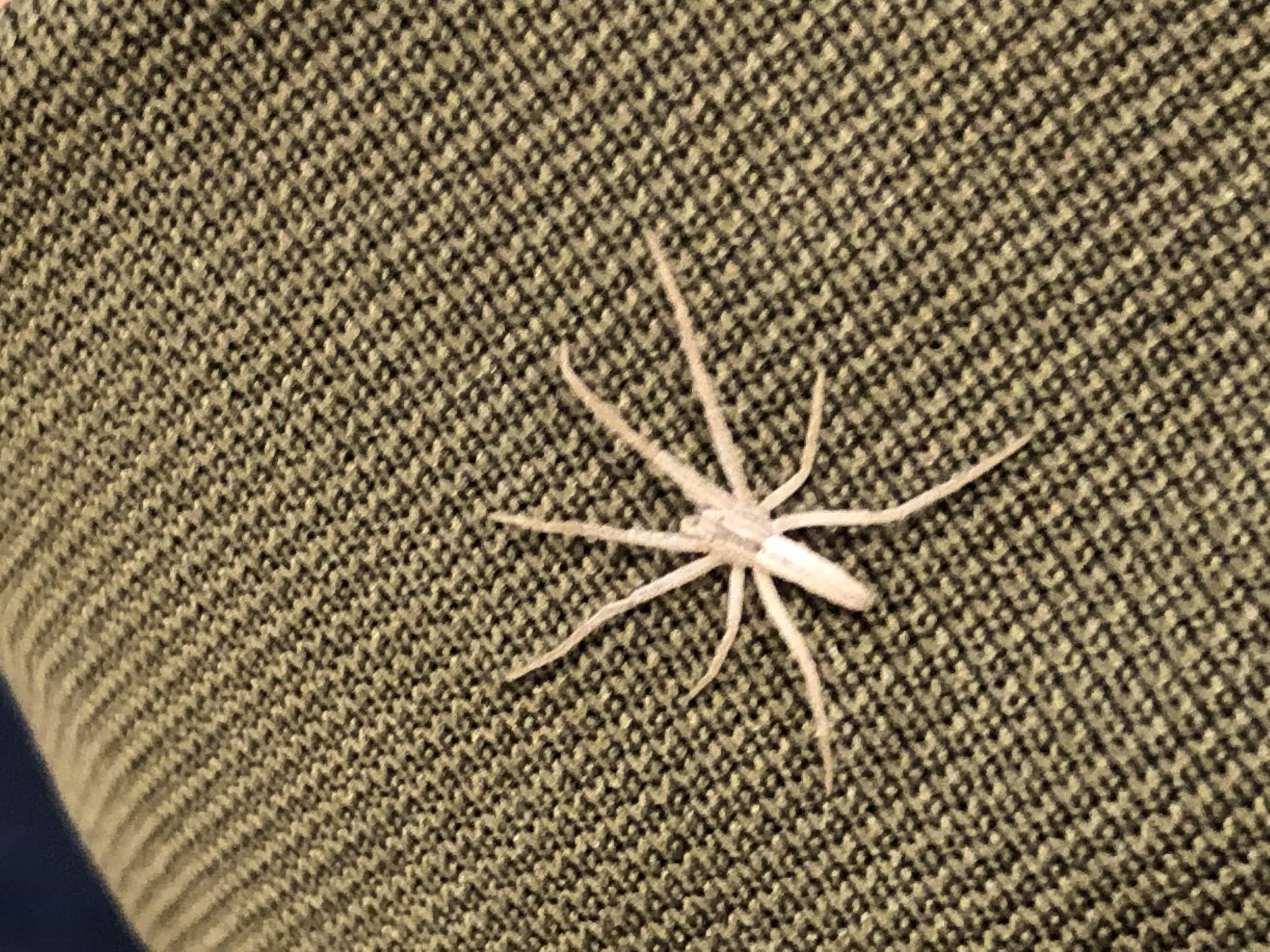 Picture of Tibellus (Slender Crab Spiders) - Dorsal