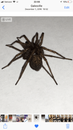 Picture of Coras spp. (Funnel Web Spiders) - Dorsal