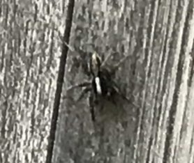 Picture of Lycosidae (Wolf Spiders) - Dorsal