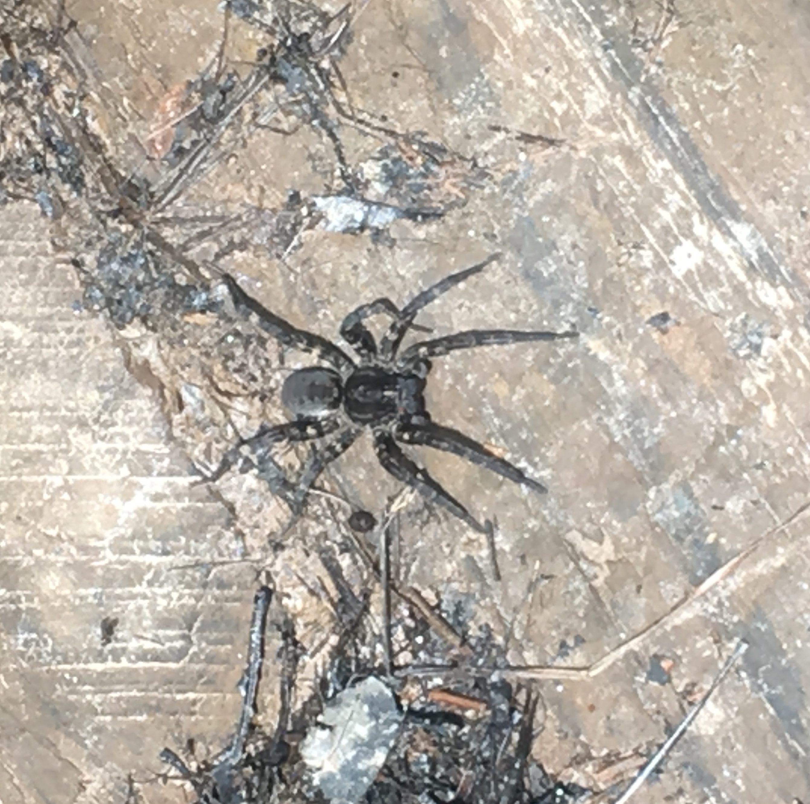 Picture of Tigrosa aspersa (Tiger Wolf Spider) - Female - Dorsal