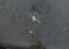 Picture of Leucauge argyrobapta (Mabel Orchard Orb-weaver) - Male,Female - Webs