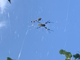 Picture of Nephila clavipes (Golden Silk Orb-weaver)