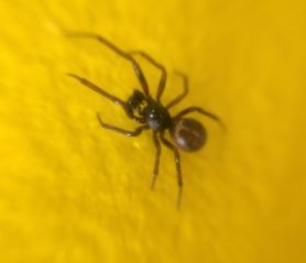 Picture of Steatoda borealis - Male - Dorsal