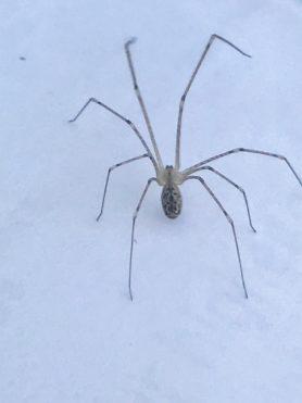 Picture of Holocnemus pluchei (Marbled Cellar Spider) - Dorsal