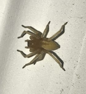 Picture of Cheiracanthium spp. (Long-legged Sac Spiders) - Dorsal