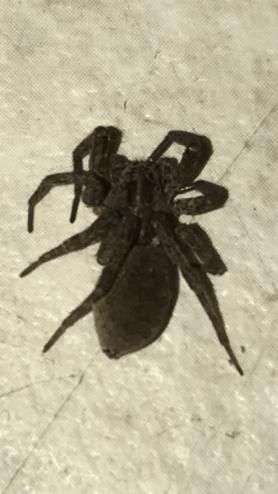 Picture of Gladicosa gulosa - Dorsal