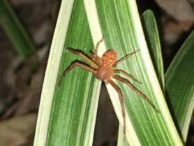 Picture of Xysticus spp. (Ground Crab Spiders) - Dorsal