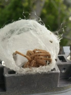 Picture of Olios giganteus (Giant Crab Spider) - Webs,In Retreat