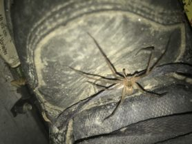 Picture of Pisaurina mira (Nursery Web Spider) - Male