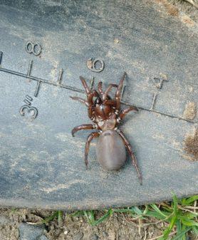 Picture of Antrodiaetus spp. - Dorsal