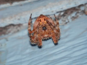 Picture of Araneus illaudatus (Texas Orb-weaver) - Female - Ventral