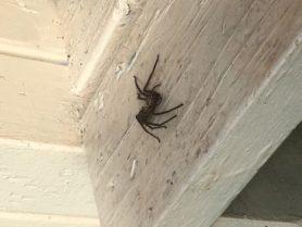 Picture of Heteropoda venatoria (Huntsman Spider) - Lateral