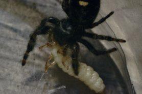 Picture of Phidippus audax (Bold Jumper) - Dorsal,Prey