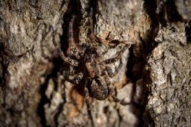 Picture of Gladicosa pulchra - Dorsal
