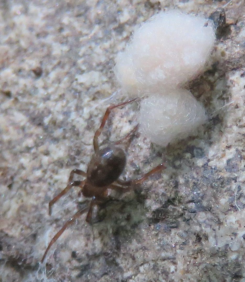 Picture of Enoplognatha - Female - Dorsal,Egg Sacs