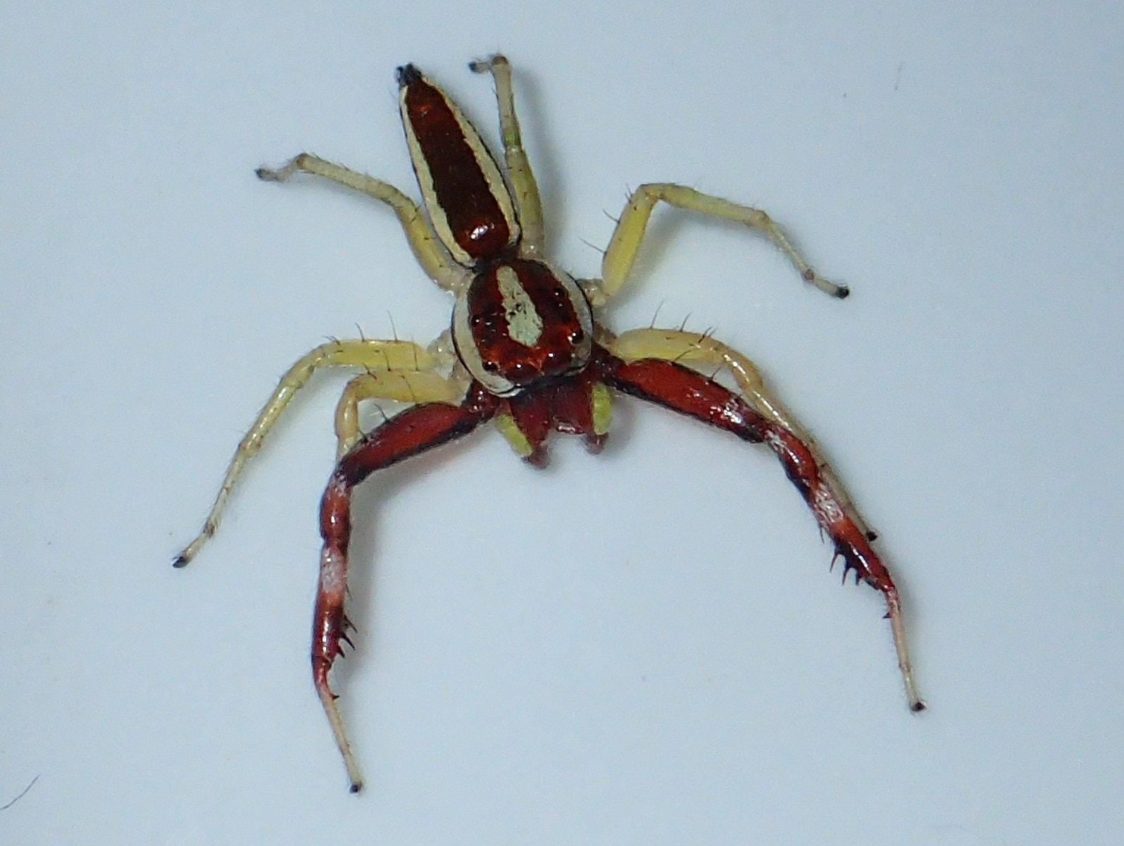 Picture of Epocilla (Orange Jumping Spiders) - Male - Dorsal