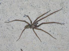 Picture of Eratigena atrica (Giant House Spider) - Male
