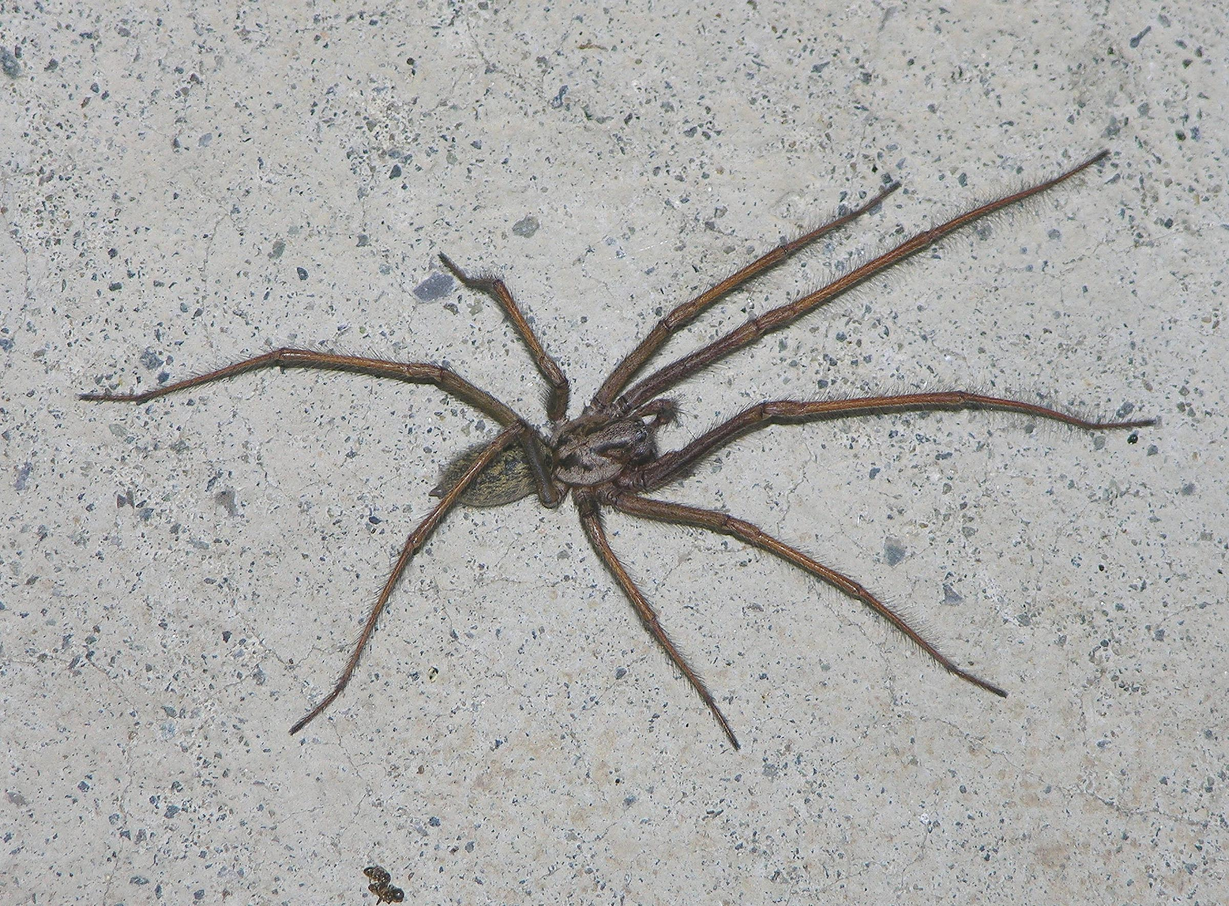 Picture of Eratigena atrica (Giant House Spider) - Male