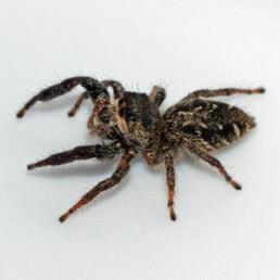 Featured spider picture of Eris militaris (Bronze Jumper)