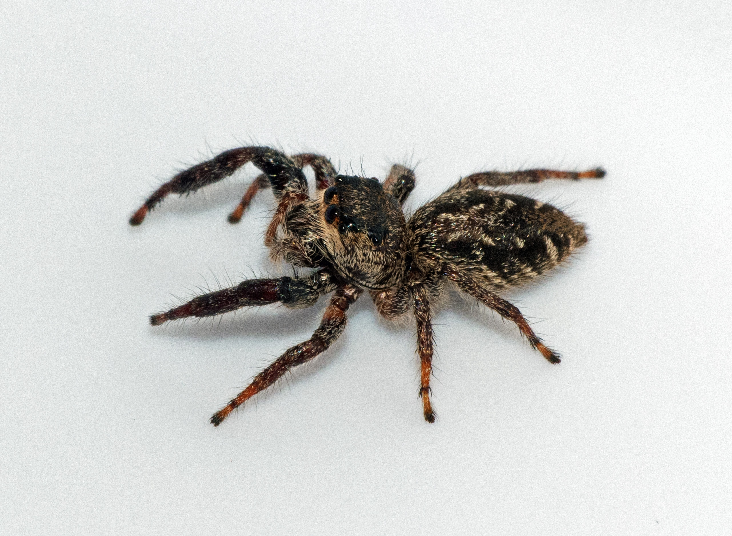 Picture of Eris militaris (Bronze Jumper) - Female - Dorsal